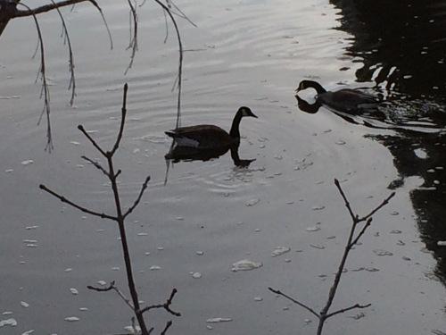 Two geese 1.jpg